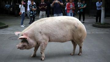 """""""Twarda Świnia"""" przeżyła trzęsienie ziemi 13 lat temu. Dożyła swoich dni w muzeum"""