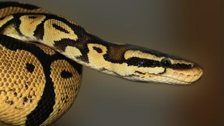 Jad tego węża działa na rany jak Super Glue. Nowy specyfik uratuje wiele ludzi