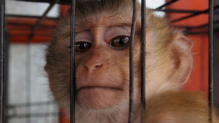 Okrutne traktowanie małp w laboratorium badawczym. Były narażone na ciągłe cierpienie
