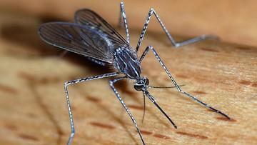 Wysterylizowane, genetycznie zmodyfikowane komary. Włosi walczą z owadami
