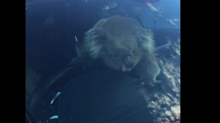 Koala za kierownicą. Wcześniej doprowadziła do karambolu