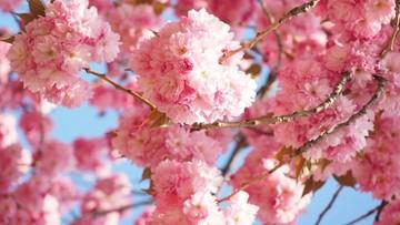 W Japonii zakwitły wiśnie najwcześniej od ponad 1200 lat. To efekt globalnego ocieplenia