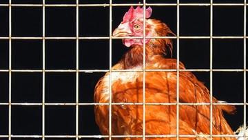 Czesi uwolnią kury. Wprowadzili zakaz chowu klatkowego