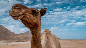 Australia odstrzeli 10 tys. wielbłądów. Bo za dużo piją
