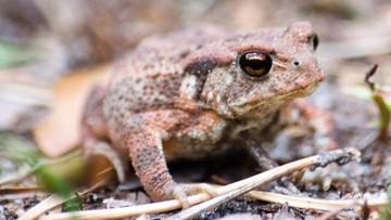 Płotki wzdłuż dróg chronią wiosną biebrzańskie żaby