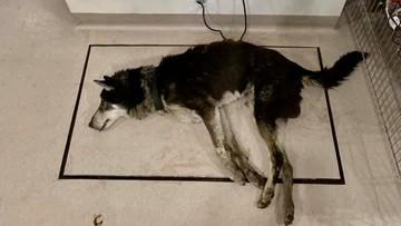 """Skrajnie zaniedbany pies byłej sołtys. Był """"na granicy"""""""