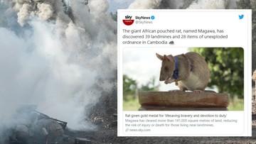 Szczur z medalem za odwagę. Pomaga wykrywać miny