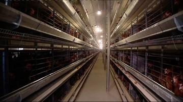 GIS: ilości fipronilu w kurczakach sprzedanych do Polski nie zagrażają zdrowiu