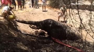 Akcja ratunkowa w Kenii. Odwodniony słoń nie mógł samodzielnie wydostać się z błota