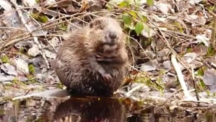 Wiosenna kąpiel bobra podbija internet. Prawdziwa szkoła codziennej higieny