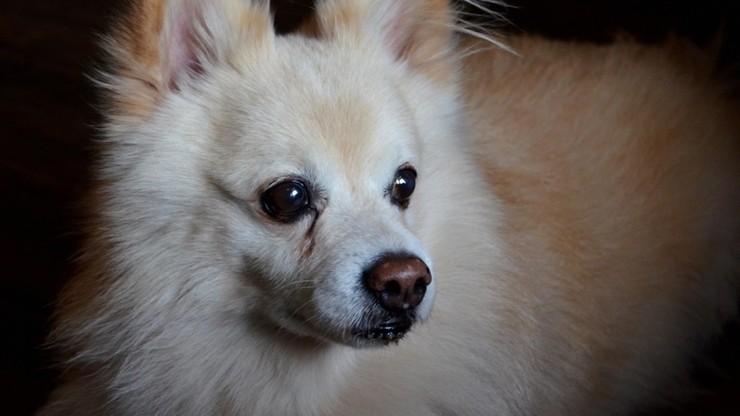 Hongkong: pierwszy przypadek koronawirusa u psa