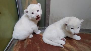 W czeskim zoo przyszły na świat dwa białe lwy. Ich ojciec pochodzi z RPA, a matka z Polski
