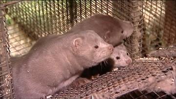 Na świecie zabija się ok. 100 mln zwierząt futerkowych. Połowę w jednym kraju