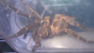 Wielki pająk za kanapą w jednym z poznańskich mieszkań. Znaleźli go podczas sprzątania