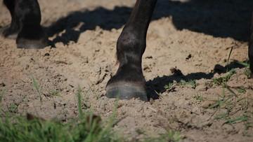 Koń kopnął siedmiolatkę w twarz. Opiekun zwierzęcia był pod wpływem alkoholu