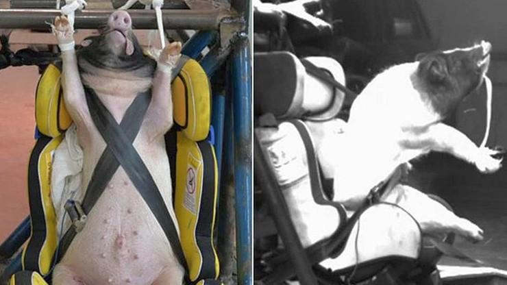 Żywe świnie wykorzystywane do testów samochodowych. Ginęły w męczarniach