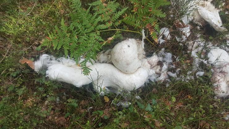 Lubięcin: rozszarpane ciała łabędzi porzucone w lesie. To mogli być kłusownicy