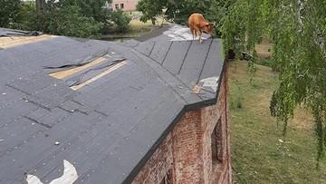Strażacy dwie godziny ściągali krowę z... dachu. Była agresywna i zaatakowała ratowników