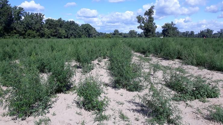 Plantacja marihuany zajmowała 4 hektary. Policjanci ręcznie usuwali krzaki, przez dwa dni