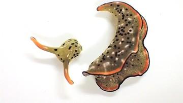 Ślimaki, które potrafią odciąć sobie głowę i stworzyć nowe ciało. Niezwykłe odkrycie naukowców