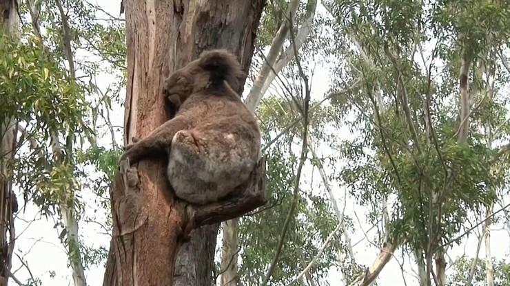 Koale zagrożone wyginięciem. W ciągu dwóch lat w pożarach zginęło 30 proc. tych zwierząt w Australii