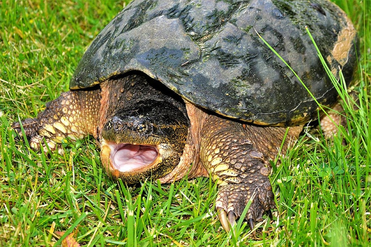 Żółw jaszczurowaty