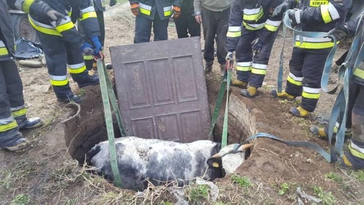 Krowa w studni. Strażacy wyciągnęli ją na drzwiach