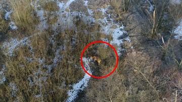 Krowa uciekła spod noża i ukrywała się od tygodni. Namierzył ją… dron