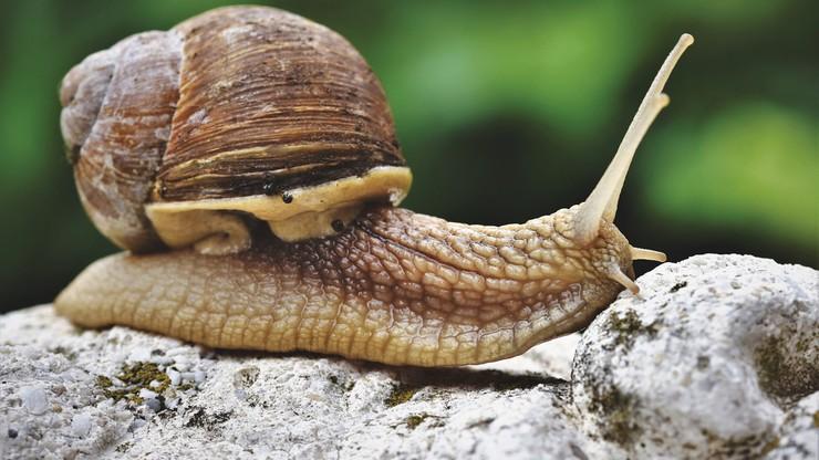 Czarnogóra. Rzadki gatunek ślimaka nazwany na cześć Novaka Djokovicia