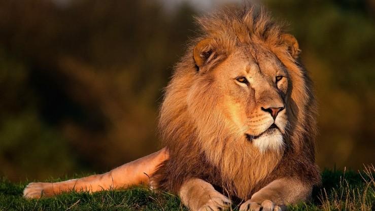 Lew uciekł z klatki i zabił 22-latkę. Tragiczny wypadek w USA