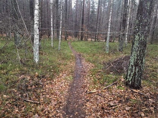 Stalowe linki rozciągnięte pomiędzy drzewami w lasach olsztyńskiego Nadleśnictwa Iława