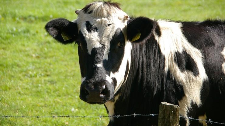 Prezes PiS interweniował w sprawie krów z Deszczna