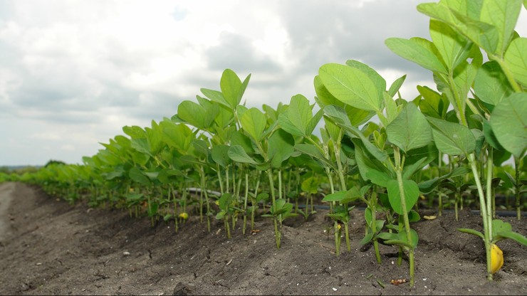 Badania: ekstrakt z soi może chronić przed zakażeniem COVID-19