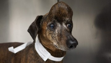 """Psia czaszka z drukarki 3D. """"Możliwy przełom w operacjach nowotworów u ludzi"""""""