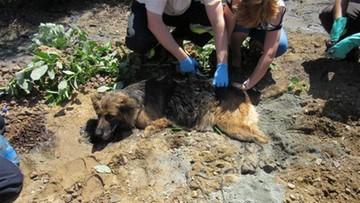 Pies uwięziony w asfalcie. Zobacz akcję strażaków