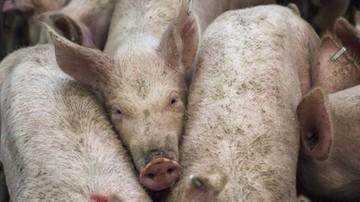 Blisko 6 tys. świń do wybicia. Ognisko ASF koło Białegostoku i trzy kolejne w woj. lubelskim