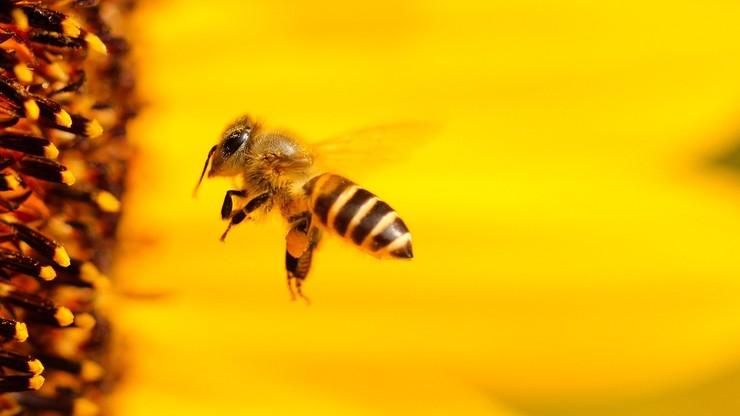 Jad pszczeli lekarstwem na raka piersi? Naukowcy nie mają wątpliwości