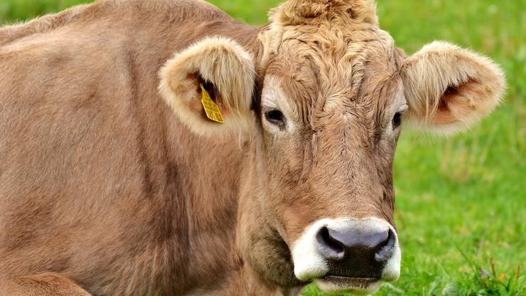 Nastolatki brały udział w wyzwaniu z TikToka? W wypadku zginęła krowa