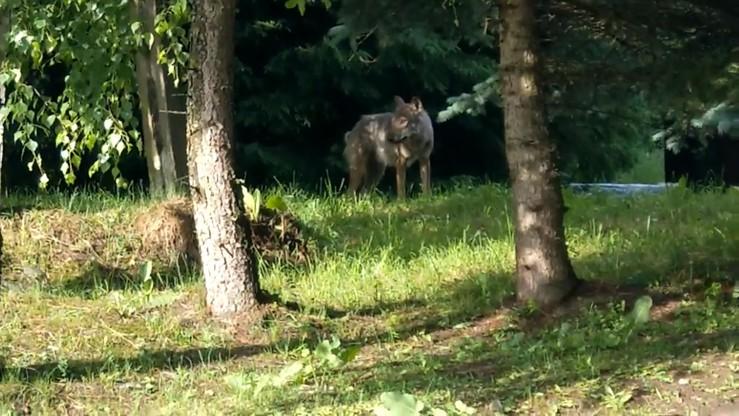 """Zwierzę, które zaatakowało ludzi w Bieszczadach to wilk. """"Wykluczono hybrydę z psem"""""""