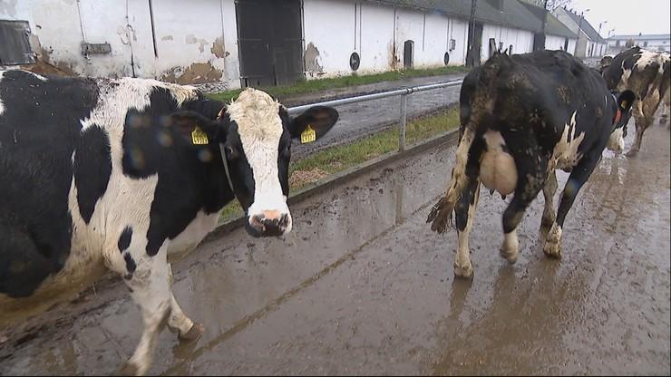 Świnie i krowy w zoo? Propozycja krakowskiego radnego