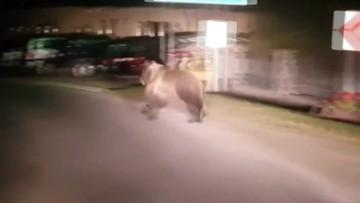 Na Podhalu niedźwiedzie grasują po ulicach. Zapuszczają się blisko domostw