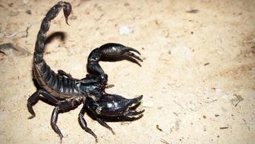 Inwazja jadowitych skorpionów w Brazylii