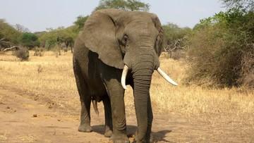 Słoń pobity przez swoich opiekunów. Dwóch poganiaczy aresztowanych