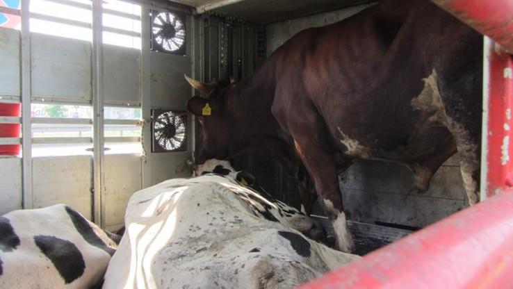 Dojrzałe płciowo byki i krowy w jednym transporcie. Skandaliczne warunku przewozu