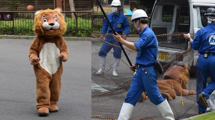 """Lew-maskotka na wolności. Pracownicy zoo zorganizowali """"obławę"""""""