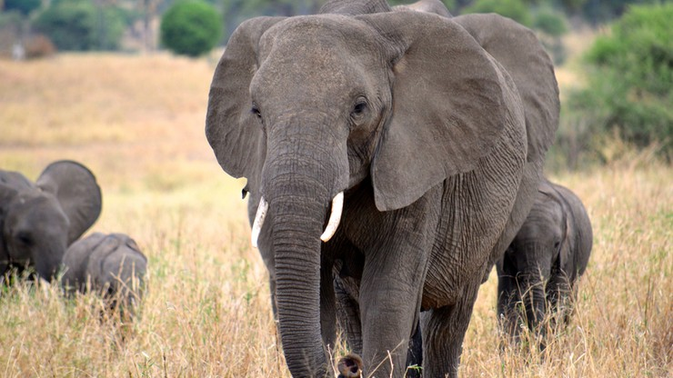 ONZ: ponad 1/4 słoni na świecie zginęła w ciągu ostatnich 10 lat