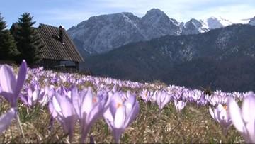 Tatrzański PN poszukuje wolontariuszy do pilnowania krokusów
