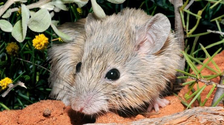 Australia. Gatunek myszy miał wyginąć 150 lat temu. Okazało się, że żyje