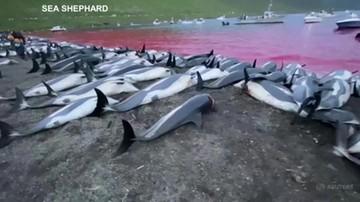 """Rzeź delfinów. Zabili setki zwierząt w ramach """"tradycji"""""""