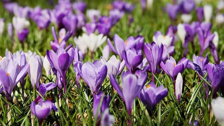 Dziś początek astronomicznej wiosny. Będzie cieplej jeszcze w tym tygodniu